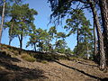 Scots Pines in forest003.jpg