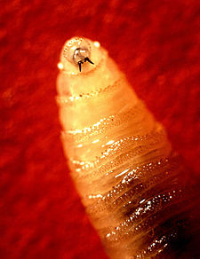 Screwworm larva.jpg