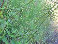 Scrophularia auriculata Tallos 2011-5-14 SierraMadrona.jpg