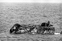Sealion in Takesima,Japan(June,1934).jpg