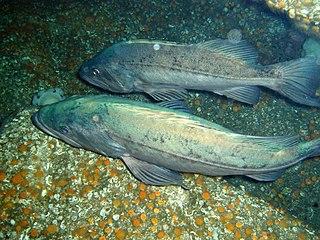 Bocaccio rockfish Species of fish