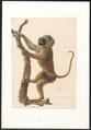 Semnopithecus spec. - 1749-1842 - Print - Iconographia Zoologica - Special Collections University of Amsterdam - UBA01 IZA1000065.tif