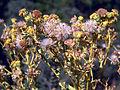 Senecio jacobea Seeds SierraMadrona.jpg