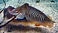Sepia officinalis Cuttlefish striped breeding pattern.jpg