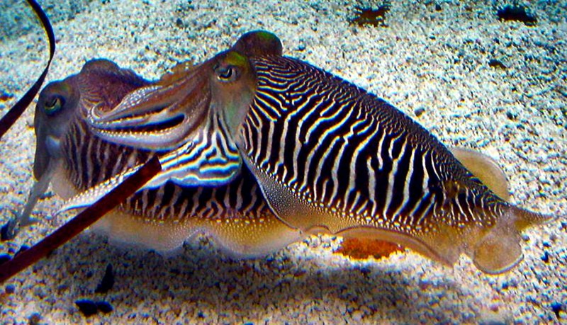 File:Sepia officinalis Cuttlefish striped breeding pattern.jpg