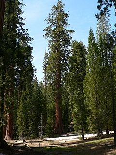 Sequoiadendron giganteum 08145.JPG