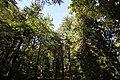 Sequoie secolari Sempervirens di Vallinfreda 01.jpg