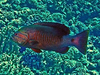 Gracila albomarginata - Gracila albomarginata from French Polynesia