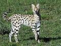 Serval (3077007722).jpg