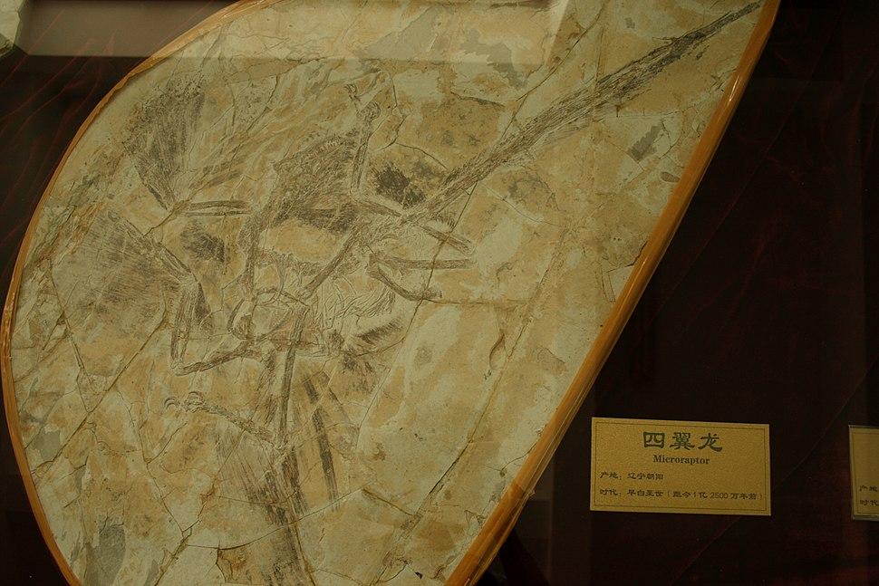 Shandong Microraptor