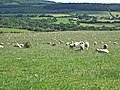 Sheep at Lownorth - geograph.org.uk - 218397.jpg