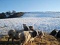 Sheep in Snow - geograph.org.uk - 1626085.jpg