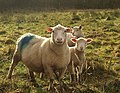 Sheep near Langaton bridges - geograph.org.uk - 1619415.jpg