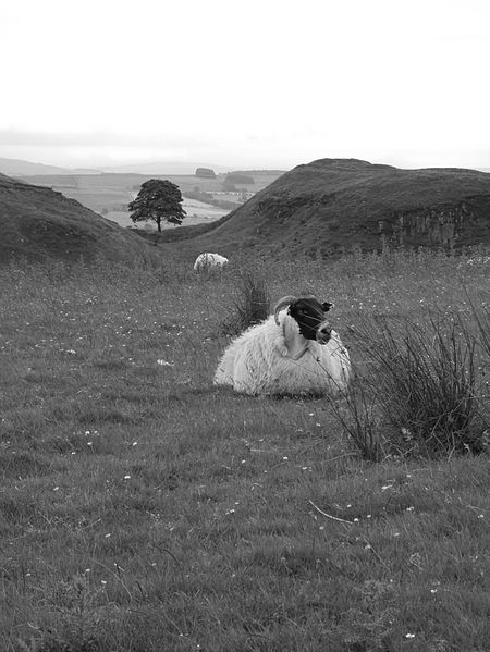 File:Sheep with Sycamore Gap in background.jpg