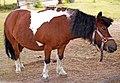Shetland pony 2.jpg