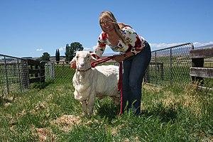 Shrek (sheep) - Wikipedia