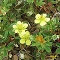 Sibbaldiopsis tridentata 'Lemon Mac' (29874111663).jpg