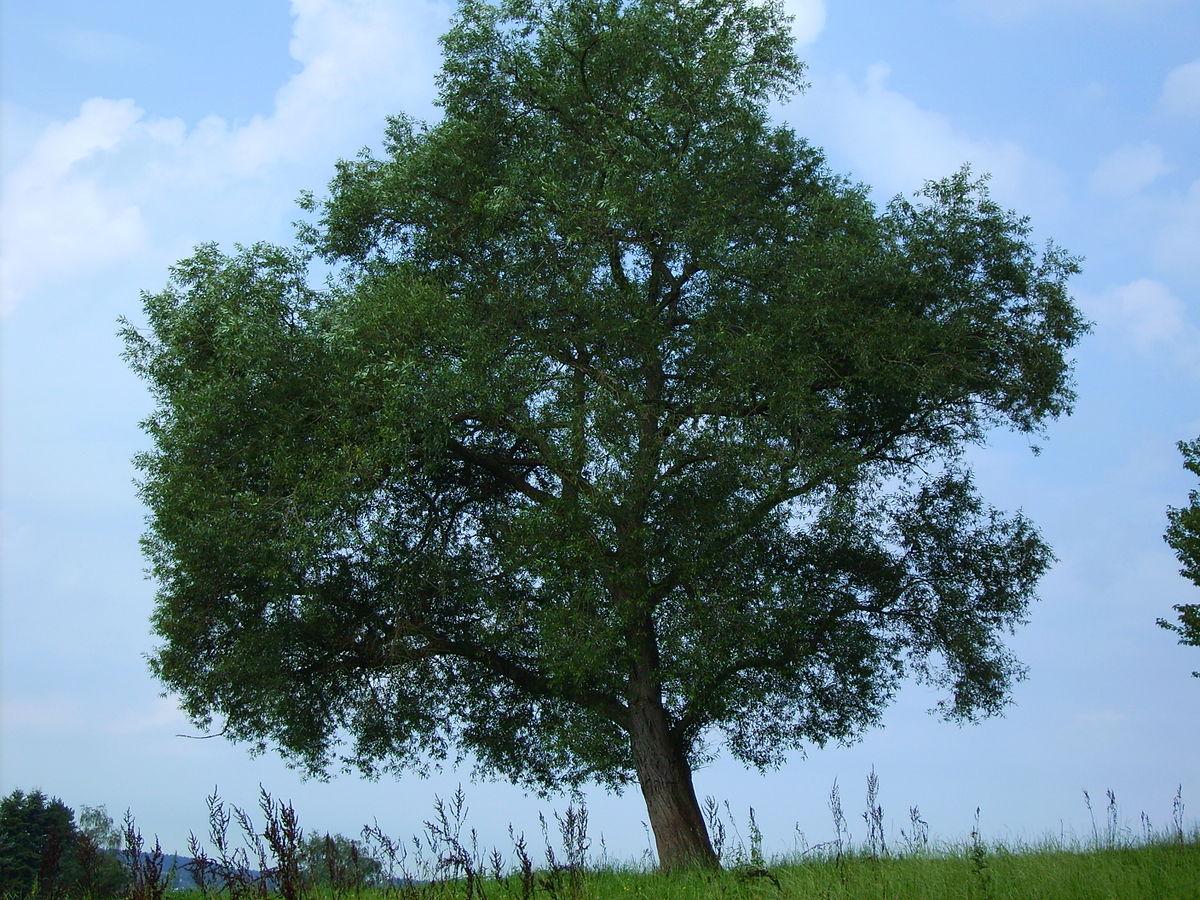 Silberweide (Salix alba).JPG