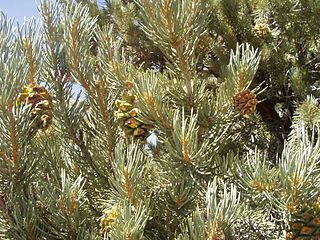 <i>Pinus monophylla</i> species of plant