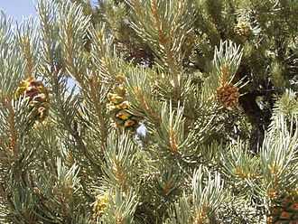 Pinus monophylla - Single-leaf pinyon (Pinus monophylla subsp. monophylla) leaves and immature cones
