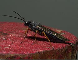 Sirex noctilio female 3 small.jpg