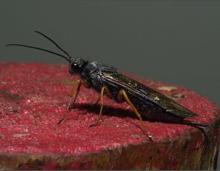 Sirex woodwasp species of insect