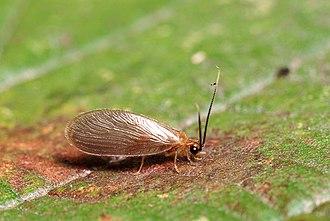 Sisyridae - Sisyra terminalis imago