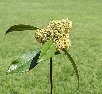 Skimmia - Skimmia japonica Inflorescence.