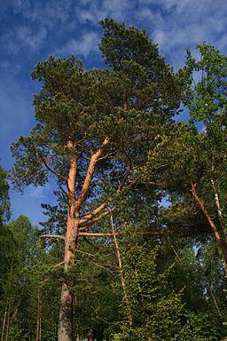 Skuleskogen pine