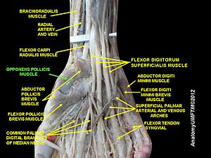 Opponens pollicis muscle - Image: Slide 4HHHH