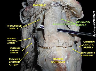 Geniohyoid muscle - Image: Slide 4ss