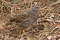 "Small Buttonquail ""Turnix sylvaticus"".jpg"