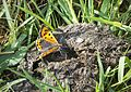 Small Copper (34736346826).jpg