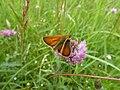 Small Skipper Butterfly (7569021952).jpg