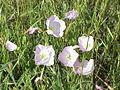 Small pink flowers.JPG