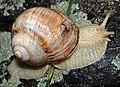 Snail in Zermatt.jpg