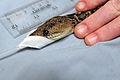 Snake Surgery DVIDS279949.jpg