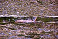 Snake going for a swim (6075967203).jpg
