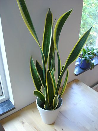 Houseplant - A variegated cultivar of Sansevieria trifasciata (namely 'Laurentii'), a common houseplant