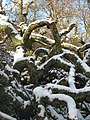 Snow covered fallen tree in Carwinion Valley - geograph.org.uk - 1149893.jpg