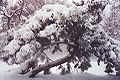Snow on a Tree.jpg