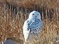 Snowy Owl (8455338015).jpg