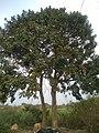 Soapnut tree.jpg