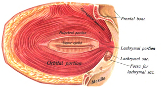 Corrugator supercilii muscle - Image: Sobo 1909 261