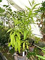 Solanum argentinum - Copenhagen Botanical Garden - DSC08029.JPG