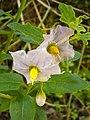 Solanum umbelliferum1.jpg