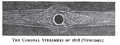 Solar eclipse 1878Jul29 Corona Newcomb.png