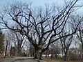 Soma Shrine of Sapporo - Divine Tree.JPG