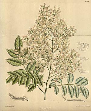Sophora japonica 144-8764.jpg
