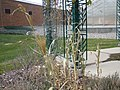 Sorghum bicolor (6442161585).jpg